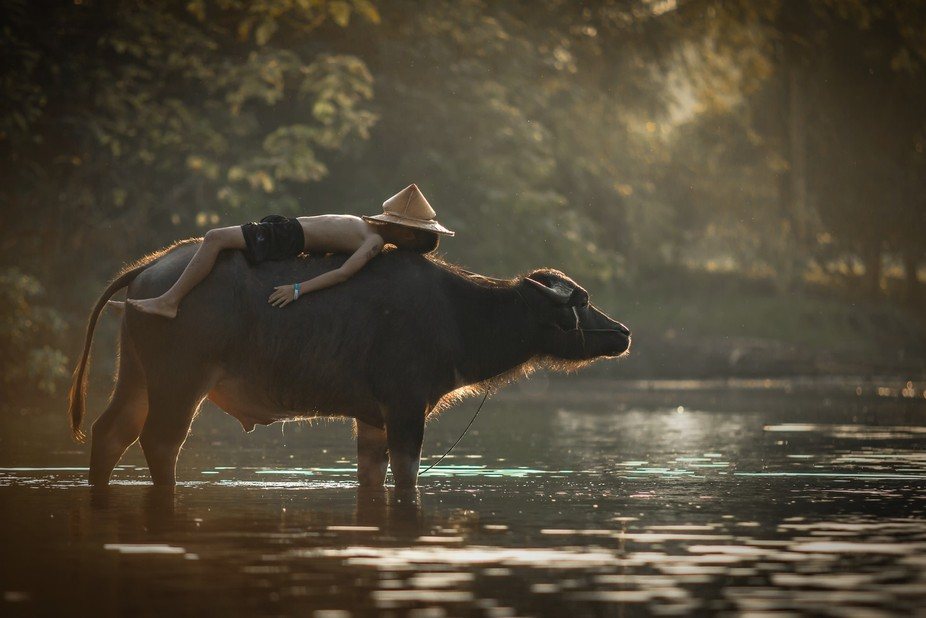 Children sleeping on water buffalo at rural.
