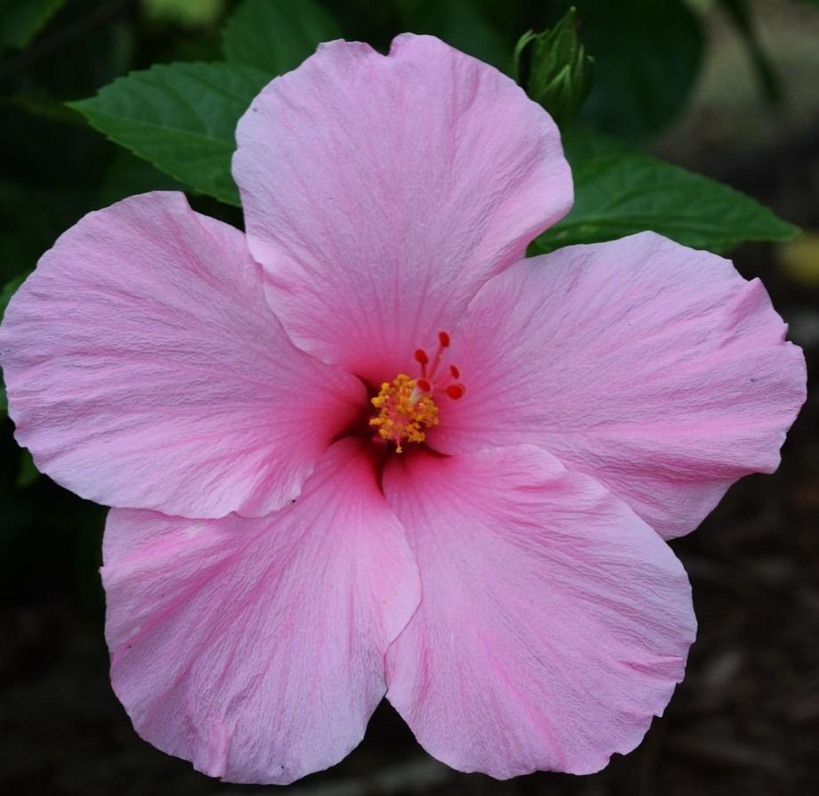 Pink Hybiscus in my garden