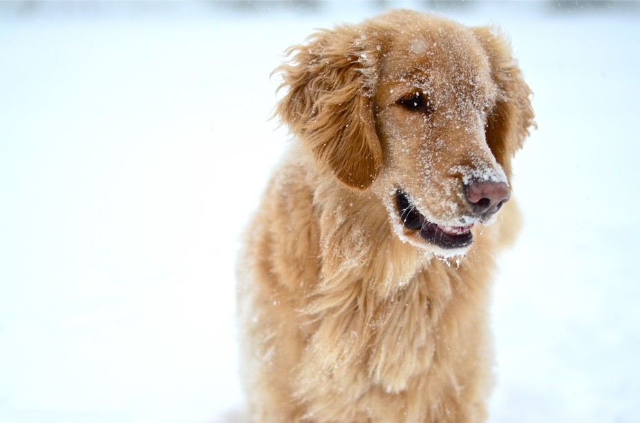 """The family dog, Tina, enjoying the snow storm """"Juno"""" which struck Rhode Island ..."""