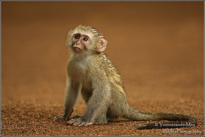 Young Blue Vervetmonkey by YvonnevanderMey - Subjects On The Ground Photo Contest
