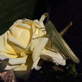 Grasshopper on a rose - either a big grasshopper or a small rose, you decide.