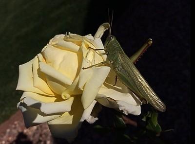 grasshopper and rose