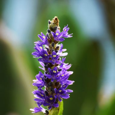 Pickerelweed glowing at Lake Mt Dora