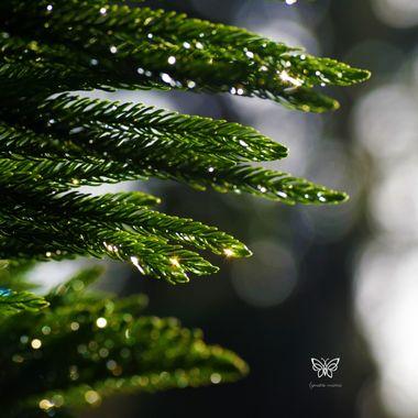 Norwegian Pine glistening
