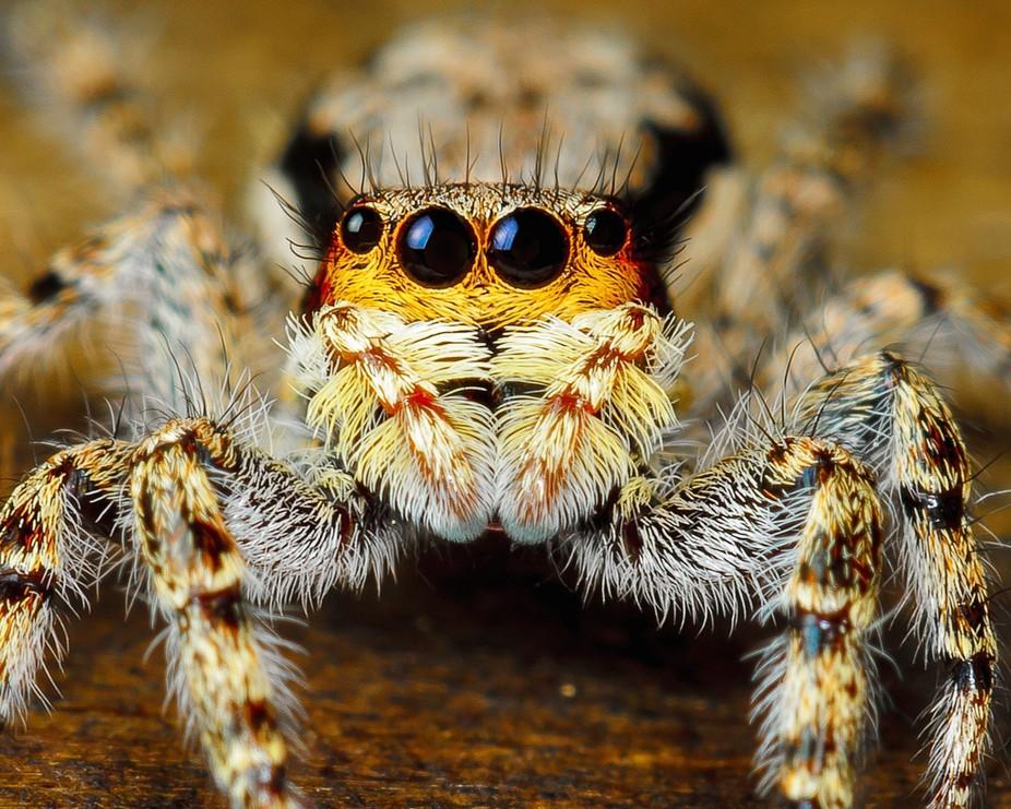 Hariy Spider