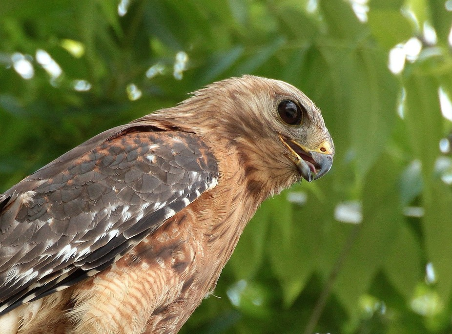 Red-tail Hawk!