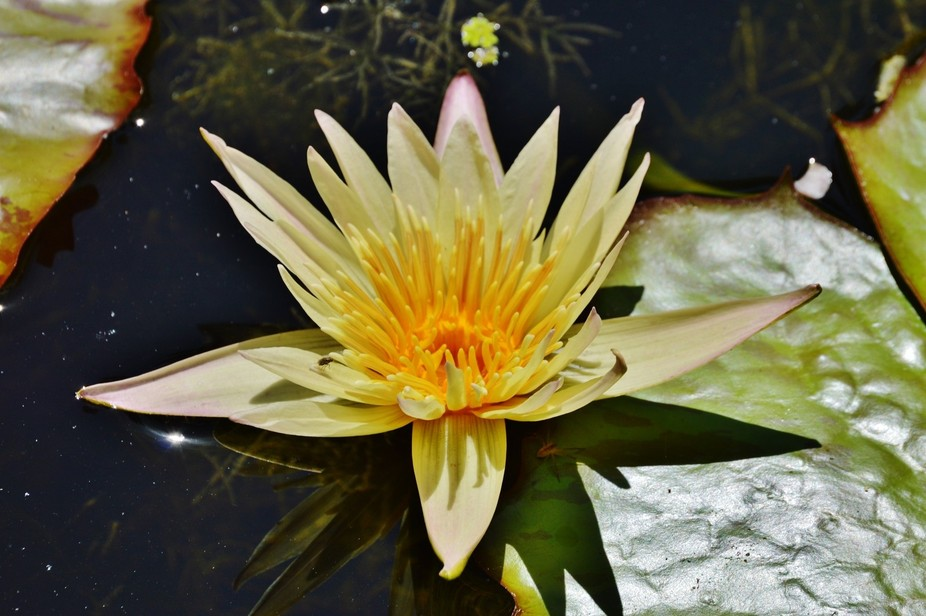 Water lily with a glimmer of light on the left. Taken in Sebastian Florida