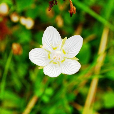 Grass of Parnassus.