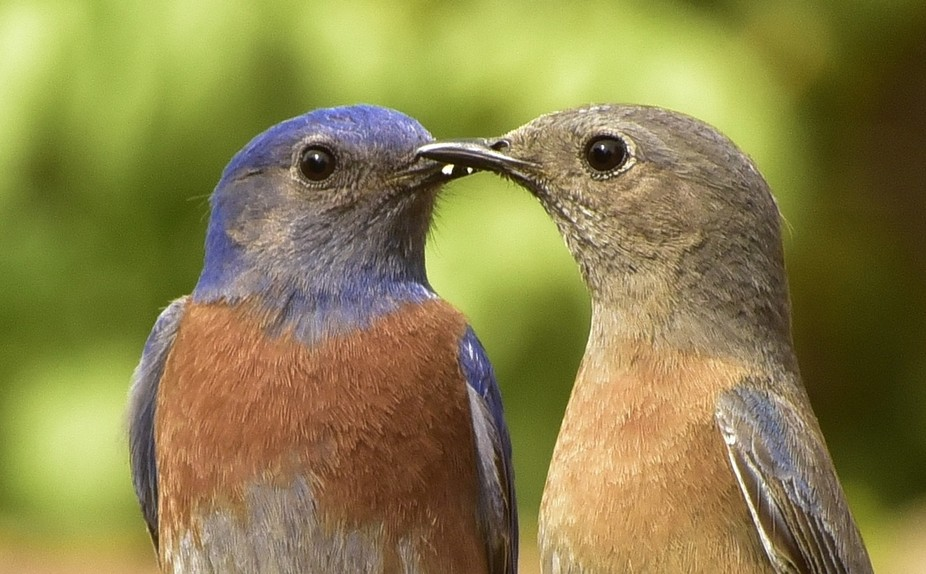 Male and female bluebirds sharing a sweet moment.