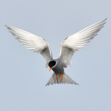 Black-Fronted tern in Angel pattern