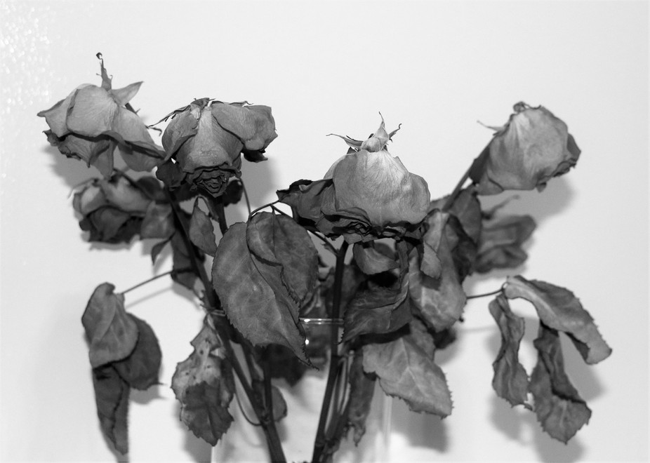 Dead roses in black and white