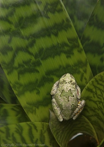 Tree Frog on Bromeliad