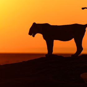 The sun was just rising on the Maasai Mara as I watched this lioness hop up on the fallen tree and look off to the sunrise. In the distance a her...