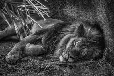 Lazy Leo