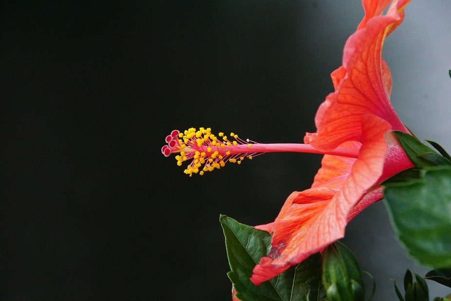 Hibiscus in profile