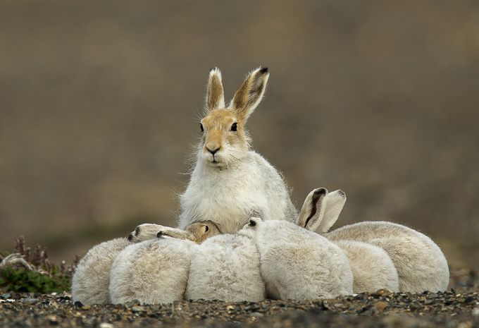 Arctic Hare family  by fredlemire - My Best Shot Photo Contest Vol 3