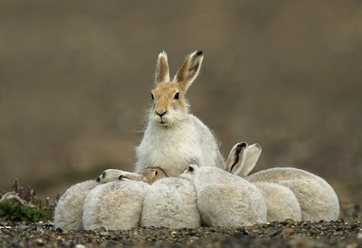 Arctic Hare family