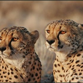 Two cheetah males in full focus, just before they start hunting together. In Kalahari desert.