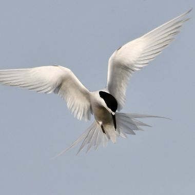 White _fronted Tern