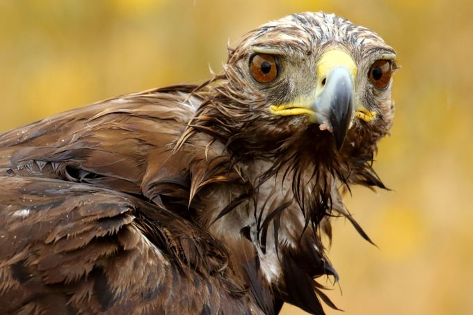 Aguila Real_01A3785 by pilardazgmez - Just Eagles Photo Contest