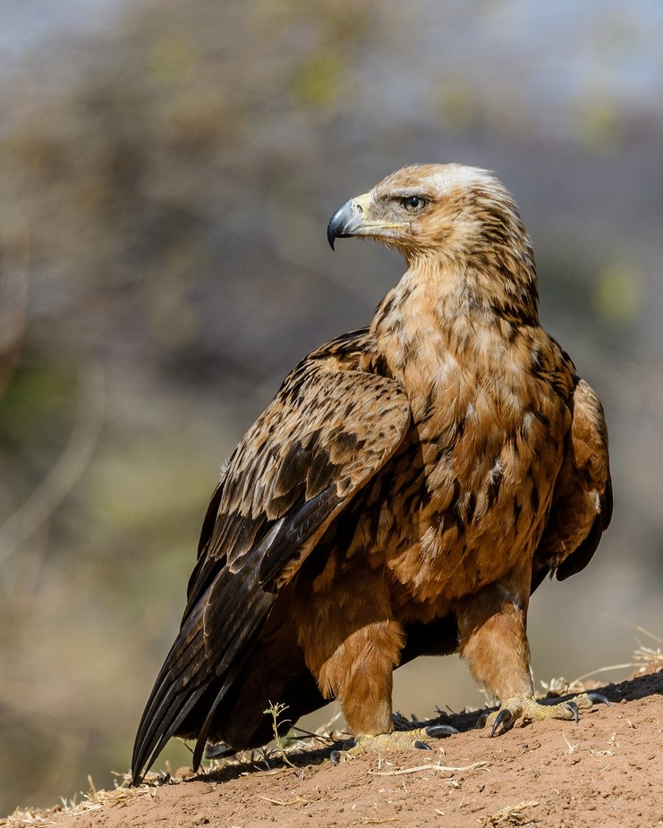 Tawny Eagle by JoeS - Just Eagles Photo Contest