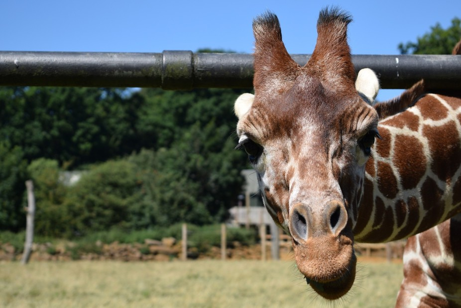 This is a shot of a giraffe at ZSL Whipsnade zoo