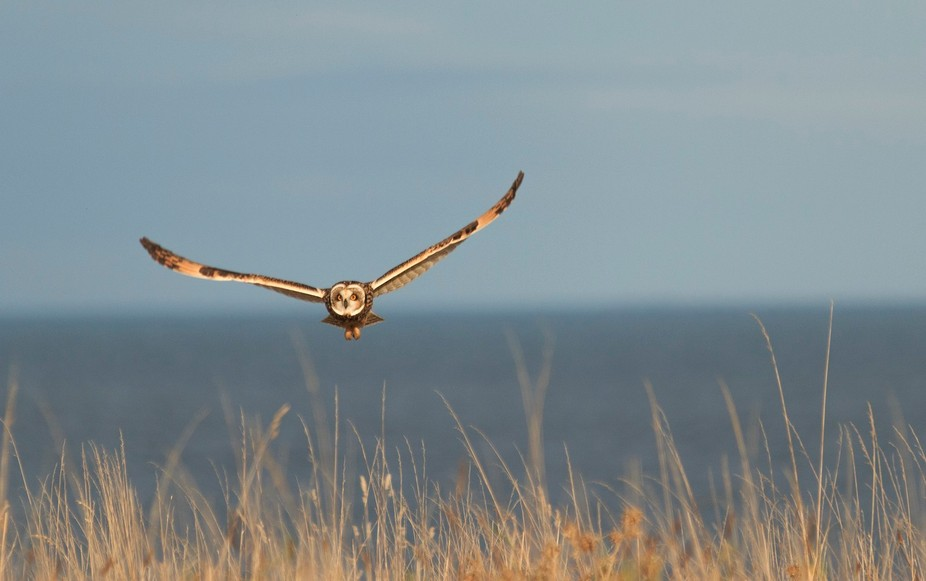 Short Ear Owl flying low in hunt for voles at the Lagoons at Musselburgh, Scotland.
