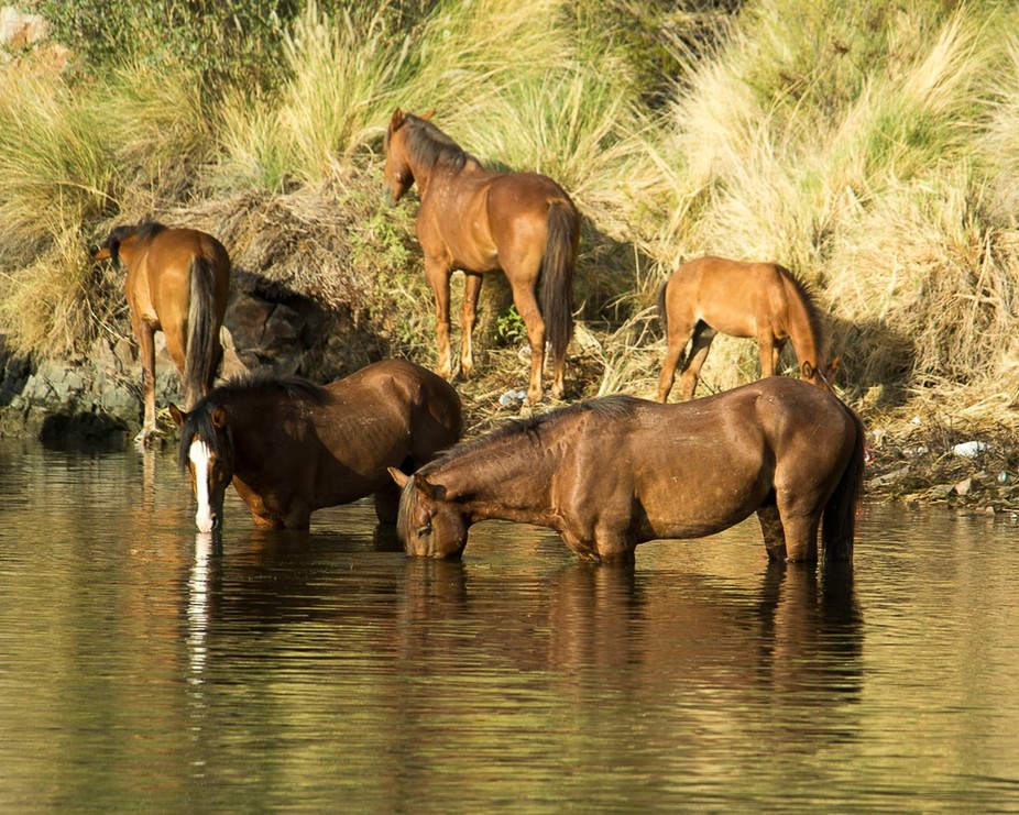 This is a band of Salt River Wild Horses, eating in the morning light.