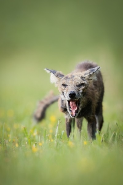 Red Fox Infected With Mange