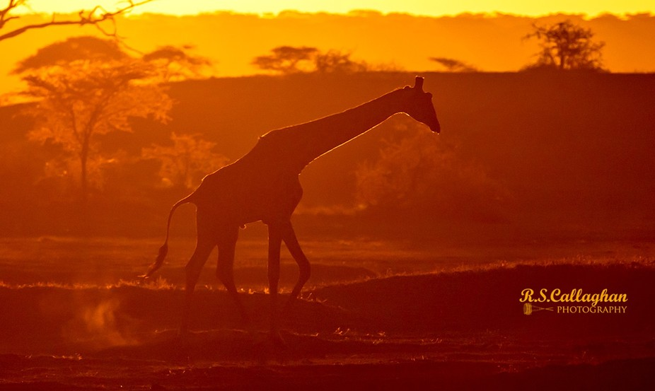 Serengeti Giraffe at Dawn