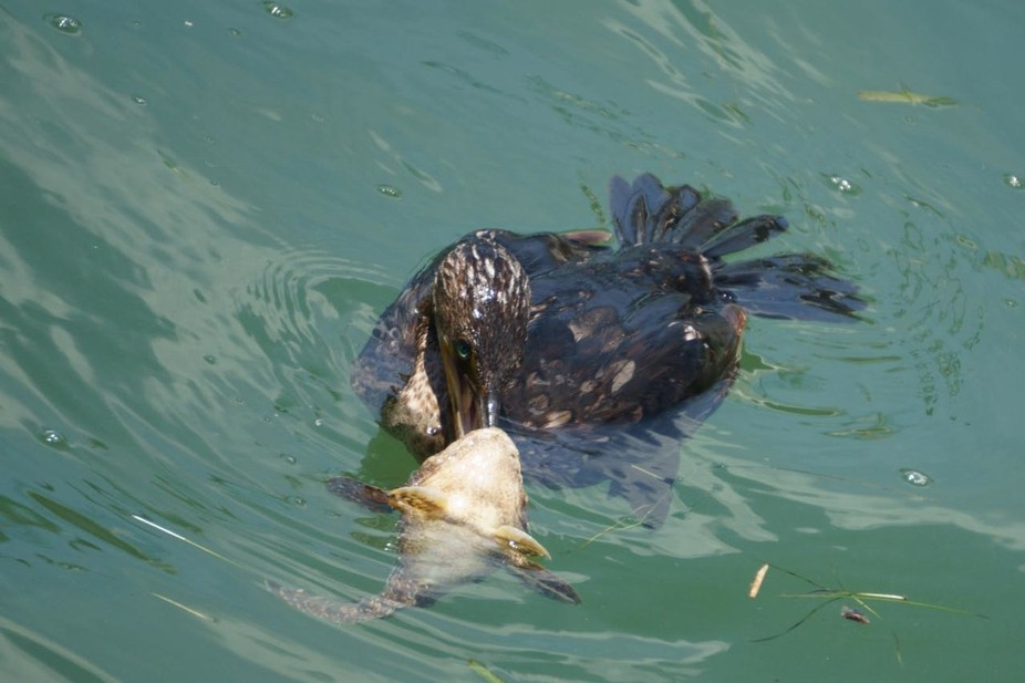 Cormorant with Toad fish