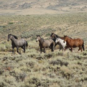 The Wild Mustangs of Wyoming