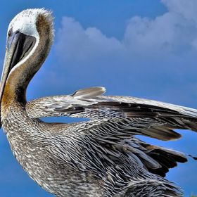 Pelican at Fort Myers Beach