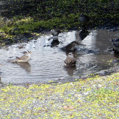 After a spring rain, a number of finches were taking a bath in this puddle. They just kept coming.