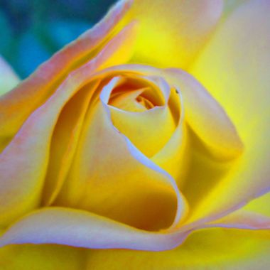 Glowing yellow rose.