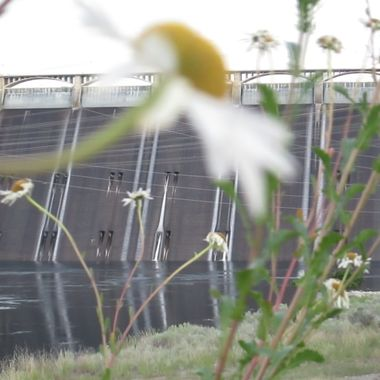 Part of the Grand Coulee Dam behind a bunch of daisies blooming.