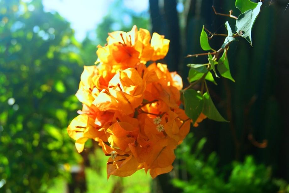 Kingdom:Plantae Order:Caryophyllales Family:Nyctaginaceae Genus:Bougainvillea Color: Orange