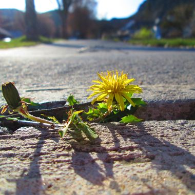 Little Dandelion coming up through the cracks in the sidewalk