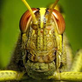 Grass Hopper Portrait