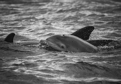 Bottlenose dolphin off Chanonry Point
