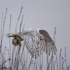 Was out on a hike when I came across this spectacular Snowy Owl....almost walked up on her but she saw me first and took to wing.