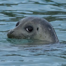 A shy harbor seal was kind enough to give me a coy look.