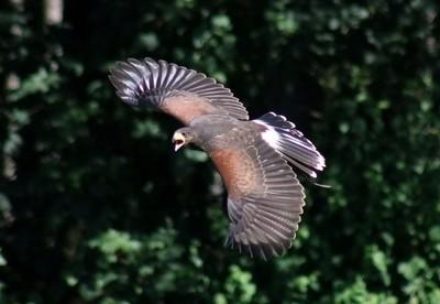 Hawk on a mission