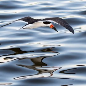 I was shooting Skimmers as the sun went down and the water became glassy and very reflective, helping to enhance the image