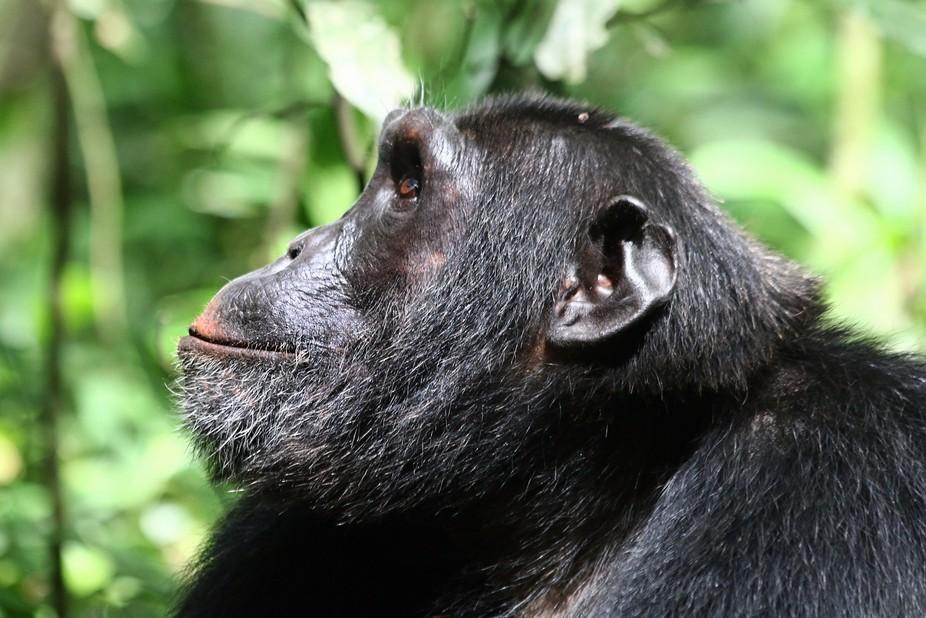 Africa 2013 Oeganda Chimpansee