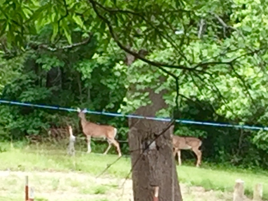 In our yard the deer love to come eat apples off our apple trees