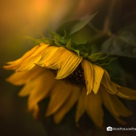 The waning days of a sunflower, as beauty fades and withers to make way for autumn. Check out my Book: amzn.to/1PFSJiW Join my Facebook Group: ht...