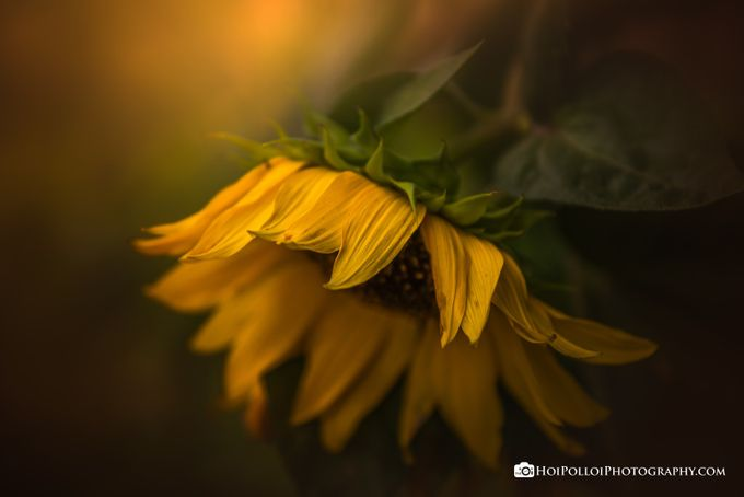 Summer Sorrow by Merma1d - Beautiful Flowers Photo Contest