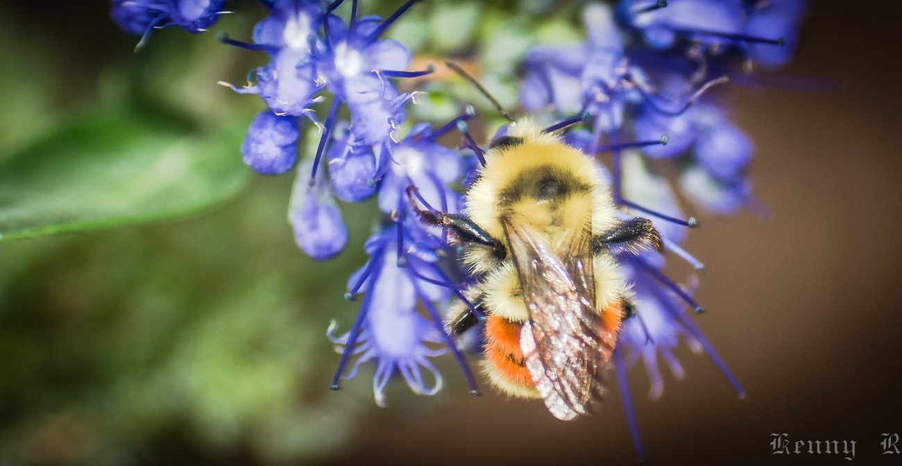 Bumble Bees (3 of 4)