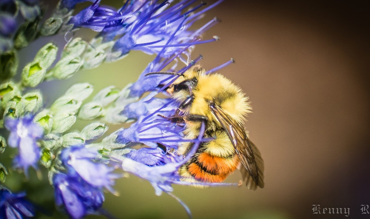 Bumble Bees (4 of 4)
